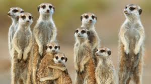 meerkat behavior